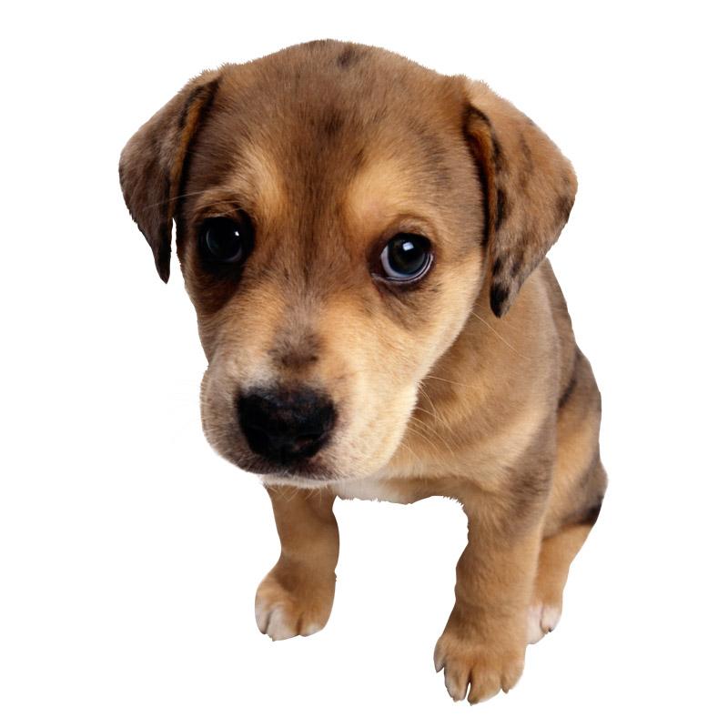 грустная собака фото на белом фоне